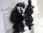 道奇兔,自家繁殖,黑色四只,黄色两只