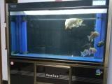 1.5米63宽高森森鱼缸蓝底过背金龙带证书 设备滤材整体出售