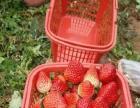 2016西山生态草莓熟啦