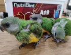 轉讓會說話的塞內加爾鸚鵡 灰鸚鵡 金太陽 金剛鸚鵡 品種多