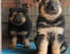 重庆纯种德国牧羊犬 幼犬三个月 纯种 品相论价