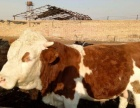 今年300斤基础母牛犊价格