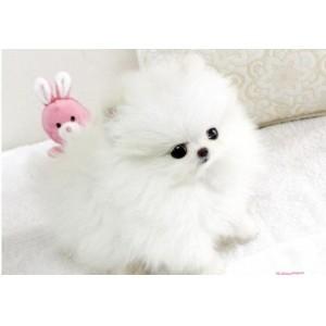 纯种哈多利球形杯子狗博美幼犬 小型茶杯犬 小狗宠物活体袖珍犬