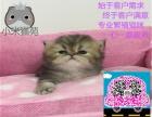 猫苑出售金吉拉可送货签协议公母都有多窝