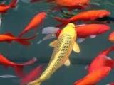 昌平長期供應各種優質草魚 鯉魚 鯽魚 青魚