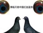 濒临灭绝老国血鸽中国红血蓝鸽