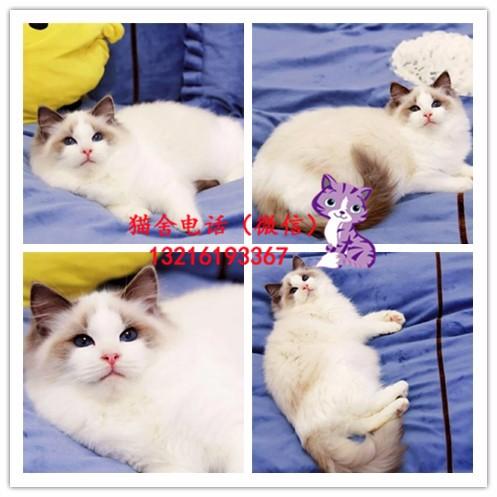 出售加菲/布偶/英短/蓝猫/金吉拉/折耳猫/美短加白包纯种