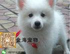 宠物狗纯种银狐犬活泼可爱疫苗驱虫已做齐全包健康签协议