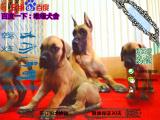 宠物店和狗市里的大丹犬可以买吗 健康的多少钱一只