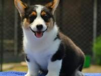顶级完美威尔士矮腿柯基犬销售防疫做齐多只可选保超健