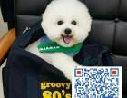 高品质纯种比熊幼犬终身保障可来场选质保三年