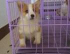 郑州 哪里有卖柯基犬 大概多少钱