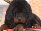 南昌哪有藏獒犬卖 南昌藏獒犬价格 南昌藏獒犬多少钱