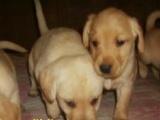 家养一窝纯种健康高智商的拉布拉多导盲犬、黄色奶白色黑色都有