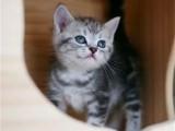 大连哪里出售纯种美国虎斑短毛猫虎斑短毛猫多少钱一只