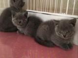 自己家蓝猫宝宝转让