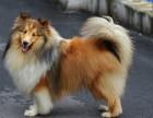 哪里有賣喜樂蒂喜樂蒂多少錢喜樂蒂圖片喜樂蒂幼犬