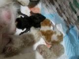 家养血统加菲四只小崽。