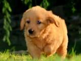 成都低价出售金毛犬哈士奇 拉布拉多萨摩耶包纯种健康可上门挑选