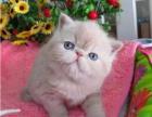 直销纯种梵文 加菲猫 活体幼猫幼崽水点眼圆胖