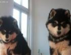 急需送人领养钱不是问题家养的小阿拉斯加幼犬便宜出售了