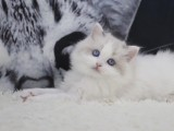 出售纯种家养布偶猫 疫苗齐包健康 全国包邮
