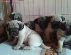 上海出售纯种健康巴哥犬,价格美丽,终身售后!