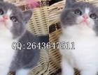 重庆在哪里买纯种健康宠物猫 重庆那里有卖蓝猫幼崽
