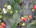 巴南区南彭草莓基地成熟了