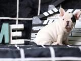 实物拍摄纯种法牛犬保证健康 可签署购犬协议