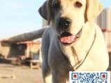 高品质纯种拉布拉多幼犬终身保障可来场选质保三年