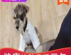 本地出售纯种雪纳瑞幼犬,十年信誉有保障