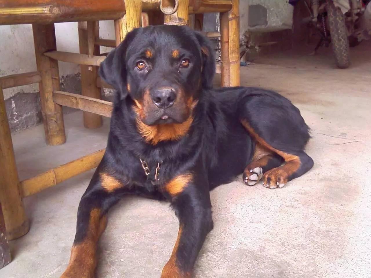 犬舍专业罗威钠养殖,纯种名犬,包健康,可视频挑狗