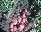 黑龙江土豆种子菜豆