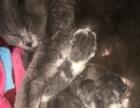 元月4号出生五只蓝猫和蓝白宝宝,白菜价格,非诚勿扰!
