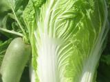 青岛金山水合作社供应新鲜大白菜(青岛无公害绿色蔬菜)量大质优