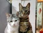 美短加白猫咪领养