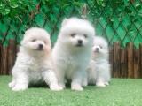 东莞中堂出售宠物狗,纯种博美幼犬狗狗出售,包纯种,包健康