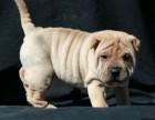 纯种沙皮狗幼犬 当面检查健康,品相质量均**包3月