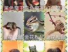 养殖基地西班牙睡鼠活体大眼飞鼠活体仓鼠松鼠龙猫拇指蜜袋鼯包邮