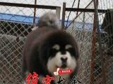 云浮售威武高贵气质阿拉斯加雪橇犬 品相极佳红黑阿拉斯加幼犬
