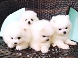 广州 出售纯种博美幼犬 品相出众 签协议保健康