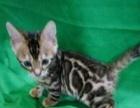 极品孟家拉豹猫幼崽常年出售