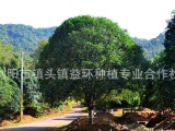 供应乔木类苗木桂花树 自然冠高分枝桂花