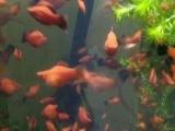 热带鱼观赏鱼鱼苗成鱼