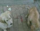 出售泰迪熊幼犬4445