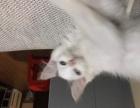 出售可爱布偶3个月幼母猫