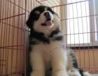上海本地犬舍繁殖纯种宠物狗,阿拉斯加,质保三个月