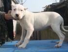 杜高幼犬低价出售 杜高犬价格