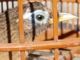 出售贵州打唱鸟,全国可以快递包邮包活